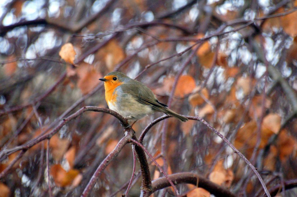 Stunde der Gartenvögel - Rotkehlchen